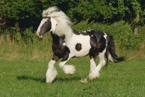 caballo irlandes