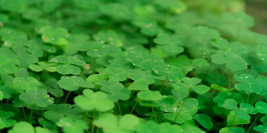 el trebol de 4 hojas es habitual en los bosques irlandeses