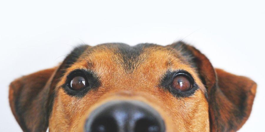 Nombres para perros machos adecuados a sus temperamentos.
