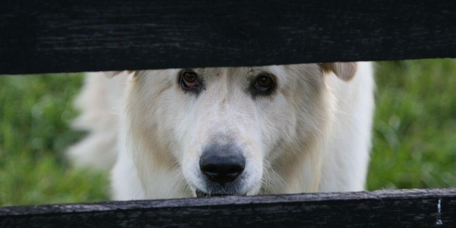 En Grecia los perros no son tan diferentes de los celtas por ser ovejeros.