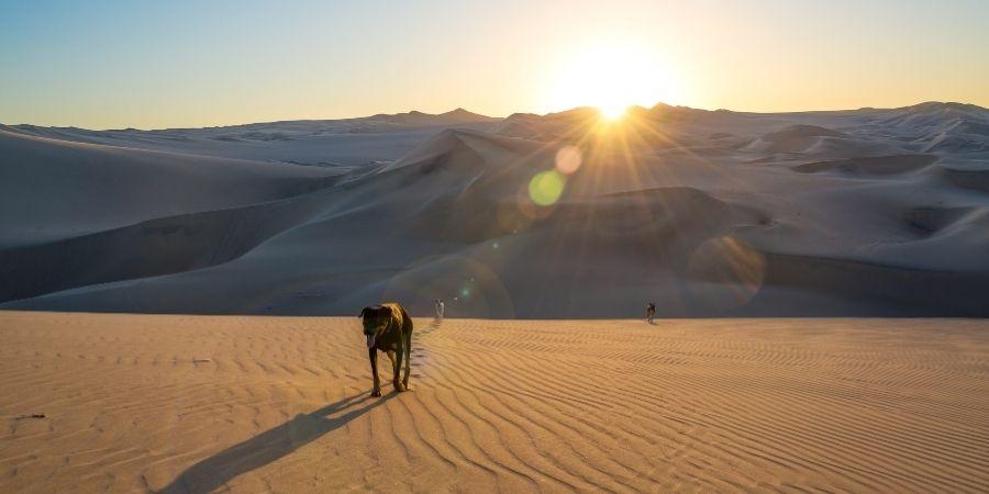 Los perros en arabia son capaces de resistir extremas temperaturas.